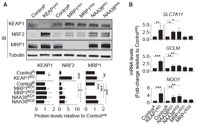 Deletion of KEAP1 and NAA38 Stabilize NRF2 and Activate the NRF2 Pathway While Deletion of MRP1 Does Not (A) Kelch-like ECH associated protein 1 (KEAP1), MRP1, and NRF2 protein levels in HAP1 Control and gene-disrupted cells. Quantification (mean intensity ± SD) is from three independent blots. (B) Relative expression of NRF2 target genes in control and gene-disrupted cell lines. Data are means ± SDs from three independent experiments. Data were analyzed using one-way ANOVA, with *p