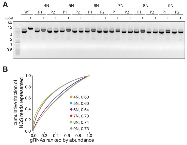 Quality control and gRNA distributions of the randomized libraries. ( A ) Gel electrophoresis of P1 3Cs libraries, generated with randomized nucleotide positions (related to Figure 2A ). Template pLentiCRISPRv2 is linearized by I-SceI digests, whereas only P1 libraries are partially I-SceI digested. P2 libraries are unaffected by I-SceI digests, demonstrating their high purity. ( B ) The distribution of the randomized nucleotide libraries, derived from panel (A), visualized with Lorenz curves. The AUC values indicate that 3Cs uncouples sequence distribution from sequence diversity.