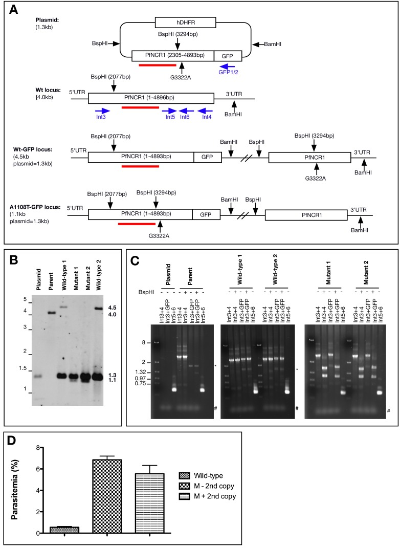 Characterization of 1108 allelic exchange clones. ( A ) Scheme of Southern blot for clones with the A1108T mutation. A C-terminal fragment of PfNCR1 (bp 2305–4893) was amplified from gDNA and cloned into the pPM2GT vector with restriction sites XhoI and AvrII. Site-directed mutagenesis was used to introduce the mutation expressing A1108T (nucleotide G3322A) as well as a mutation at bp 3294 to introduce a synonymous BspHI site. The location of the probe (bp 2624–3298) is shown in red. For integrants, and normally a second truncated and promoterless copy is introduced into the genome. Primers used for PCR analysis of clones are shown in blue. Primers Int4, Int5, Int6 anneal to the transfected plasmid, wild-type parasites sequences and allelic exchange clones. Int3 is outside the plasmid sequence, while GFP1/2 are not present in the parent. ( B ) Southern blot of plasmid DNA, 3D7 parental DNA, two clones in which homologous recombination occurred such that the A1108T mutation is expressed (Mutant 1 and 2), as well as two clones in which homologous recombination occurred downstream from the mutation (Wild-type 1 and 2). A size ladder (in kb) is shown on the left. The expected sizes from the BspHI/BamHI double digest are: 1.3 kbp (plasmid), 4.0 kbp (genomic locus), 4.5 kbp (integration of vector, 3' GFP), 1.1 kbp (integration of vector and expression of A1108T mutation, 3' GFP). The expected promoterless second copy in the mutation integrant parasites used in Figure 1 is not present. It is possible that this second copy has looped out via homologous crossover after the BspHI site in the integrated concatamerized plasmid. Clones with or without this second copy displayed similar resistance (see D, below). ( C ) PCR diagnostic tests on A1108 allelic exchange clones using primers indicated in A). PCRs show integration at endogenous locus and introduction of mutation in A1108T mutant clones (as indicated by BspHI restriction). Expected sizes of PCR products are as follows: I