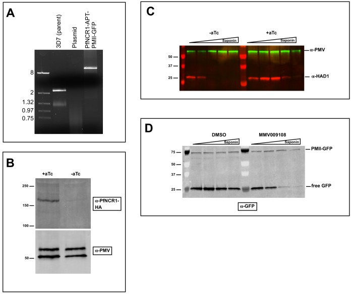 Characterization of strain with PfNCR1 apt in PMII-GFP background. ( A ) PCR with gDNA preparation from clonal parasites showing integration of K/D construct and disruption of wild-type locus. Expected size for pfncr1 locus is 2.3 kbp, for aptamer-modified locus is 13.1kbp. ( B ) PfNCR1 expression in PMII-GFP background is regulated by aTc. Image is western blot 22 hr post washout. Top blot was probed with α-HA antibody, bottom blot (loading control) was probed with α-PM-V antibody. ( C ) Western blot showing premature leakage of cytoplasmic HAD1 protein after aTc washout (22 hr) following saponin isolation of parasites in the PfNCR1 K/D + PMII GFP clone. Blot was probed with α-HAD1 and α-PM-V antibodies. ( D ) Western blot on osmotically released (5% sorbitol, 5 min, room temperature) PMII-GFP DVs that were treated with increasing saponin concentrations following incubation with MMV009108 (1 μM, 2 hr). This blot was probed with α-GFP antibody. Expected sizes: PfNCR1-HA = 171 kDa, PM-V = 69 kDa, HAD1 = 33 kDa, pro-PMII-GFP=79 kDa, free GFP = 27 kDa.