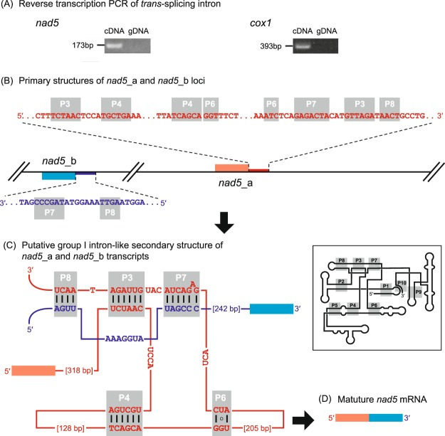 """Trans -splicing for nad5 and cox1 gene expressions in the Marophrys mitochondrial genome. ( A ) Reverse transcription PCR using a set of primers specific to nad5 _a and nad5 _b loci (left) and that specific to cox1 _a and cox1 _b loci (right). The DNA fragment was amplified from the <t>cDNA</t> template which most likely contained the spliced product connecting the two <t>RNA</t> fragments transcribed from the two separate loci together (lanes labelled with """"cDNA""""). On the other hand, no specific amplification was observed in the PCR using the genomic DNA template due to the configuration of the two separate loci in the mtDNA (lanes labelled with """"gDNA""""). ( B-C ) Model for nad5 mRNA trans -splicing. ( B ) Primary structures of nad5 _a and nad5 _b loci. mtDNA, exons, and introns are shown in thin black lines, boxed, and thick lines, respectively. The 5′ exon and subsequent intronic region are colored in red, while the 3′ exon and its preceding intronic region are indicated in blue. The two loci are located on the different strands, and thus transcribed independently from each other. ( C ) Putative group I intron-like secondary structure of nad5 _a and nad5 _b transcripts. Five stem-loop structures conserved among group I intron ribozymes (P3, P4, P6, P7, and P8) can be formed within the nad5 _a transcript and between the nad5 _a and nad5 _b transcripts. This secondary structure was predicted by RNAweasel followed by manual inspection and modification. Watson–Crick base pairings and a wobble bond in the five stem-loop structures are indicated by the black lines and a circle, respectively. The typical secondary structure of group I intron ribozymes is schematically shown as an inset. ( D ) Mature nad5 mRNA."""