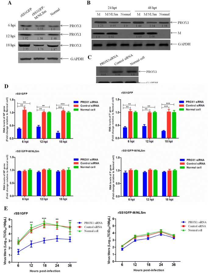 Effect of PROX1 knockdown on the viral RNA synthesis and viral replication. The expression levels of PROX1 protein in BSR-T7/5 cells infected with rSS1GFP and rSS1GFP-M/NLSm ( A ) or transfected with pCI-M and pCI-M/NLSm ( B ) were examined by Western blotting. The relative levels of the PROX1 protein were compared with the control GAPDH expression. C Effect of the PROX1 siRNA or control siRNA on the expression of endogenous PROX1 in BSR-T7/5 cells. D PROX1 siRNA- or control siRNA-treated BSR-T7/5 cells were infected with rSS1GFP and rSS1GFP-M/NLSm, and viral RNA synthesis corresponding to the NP and P genes were detected by qRT-PCR. E The growth kinetics of rSS1GFP and rSS1GFP-M/NLSm were compared using multicycle growth curves in PROX1 siRNA- or control siRNA-treated cells. Error bars represent standard deviations (mean ± SD) (* P