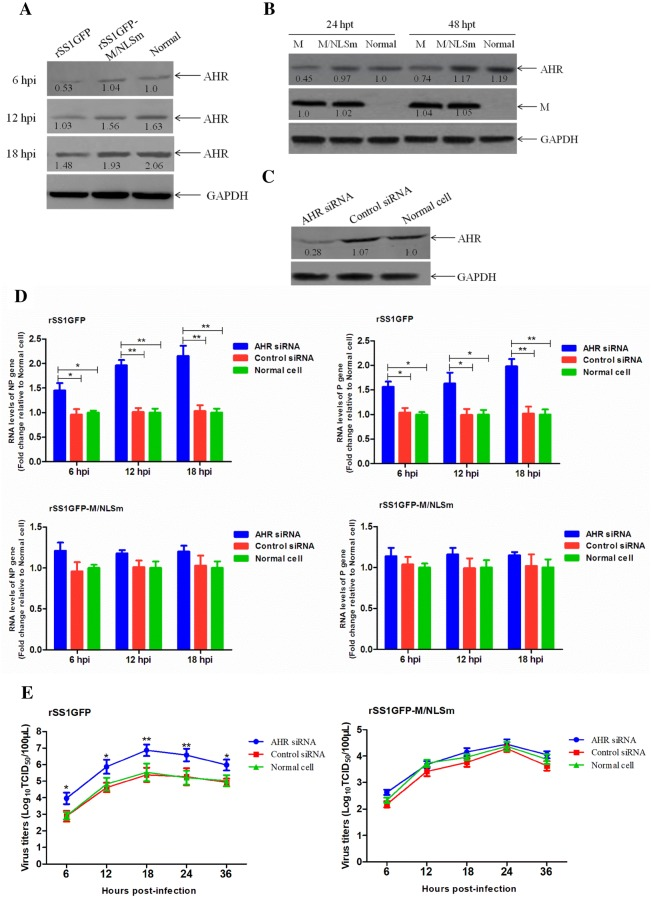 Effect of AHR knockdown on the viral RNA synthesis and viral replication. The expression levels of AHR protein in BSR-T7/5 cells infected with rSS1GFP and rSS1GFP-M/NLSm ( A ) or transfected with pCI-M and pCI-M/NLSm ( B ) were examined by Western blotting. The relative levels of the AHR protein were compared with the control GAPDH expression. C Effect of the AHR siRNA or control siRNA on the expression of endogenous AHR in BSR-T7/5 cells. D AHR siRNA- or control siRNA-treated BSR-T7/5 cells were infected with rSS1GFP and rSS1GFP-M/NLSm, and viral RNA synthesis corresponding to the NP and P genes were detected by qRT-PCR. E The growth kinetics of rSS1GFP and rSS1GFP-M/NLSm were compared using multicycle growth curves in AHR siRNA- or control siRNA-treated cells. Error bars represent standard deviations (mean ± SD) (* P