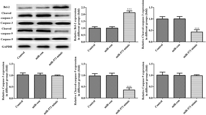 Overexpression of miR-573 markedly increased the expression of Bcl-2 and decreased the expression of cleaved caspase-3 and cleaved caspase-9 in degenerative NP cells. Protein expression levels of Bcl-2, cleaved caspase-3, cleaved caspase-9, caspase-3 and caspase-9 in degenerative NP cells were evaluated using Western blotting assay. *** P