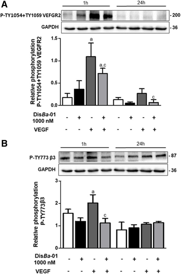 Dis Ba -01 inhibits VEGFR2 and β 3 phosphorylation after VEGF stimulation. HUVECs (5 × 10 5 cells/well) were seeded in 6-well plates and left to adhere at 37 °C, 5% CO 2 , overnight, followed by a period of 24 h of starvation in serum-free medium. Cells were treated with 1 ml of DMEM supplemented with 10% FBS and Dis Ba -01 (1000 nM), VEGF (10 ng/mL) or a co-treatment and incubated for 1 and 24 h at 37 °C, 5% CO 2 , followed by cell lysis. Twenty micrograms of protein from cell lysates were resolved by SDS-PAGE. Blots were probed with antibodies to a P-TY1054 + TY1059 VEGFR2, to b P-Ty773β 3 and GAPDH, this last to normalize loading. Bands corresponding to all proteins were quantified by densitometry using the ImageJ FIJI program. Bar graph shows the mean ± SE of phosphorylated VEGFR2/GAPDH and β 3 /GAPDH expression from three independent experiments. Values of *p