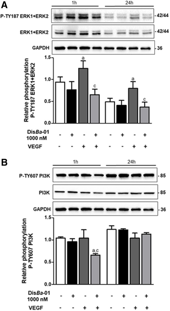 Dis Ba -01 inhibits ERK1/2 and PI3K phosphorylation. HUVECs (5 × 10 5 cells/well) were seeded in 6-well plates and left to adhere at 37 °C, 5% CO 2 , overnight, followed by a period of 24 h of starvation at serum-free medium. Cells were treated with 1 ml of DMEM supplemented with 10% FBS and either Dis Ba -01 (1000 nM), VEGF (10 ng/mL) or a co-treatment and incubated for 1 and 24 h at 37 °C, 5% CO 2 , followed by cell lysis. Twenty micrograms of protein from the cell lysate were separated on SDS-PAGE. Blots were probed with antibodies to a P-TY187 ERK1 + ERK2 and anti-ERK1 + ERK2; to b P-TY607 PI3K and anti-PI3K and GAPDH, this last used to normalize loading. Bands corresponding to all proteins were quantified by densitometry using the ImageJ FIJI program. Bar graph shows the mean ± SE of phosphorylated ERK1 + ERK2/ERK1 + ERK2/GAPDH and PI3K/PI3K/GAPDH expression from three independent experiments. Values of *p