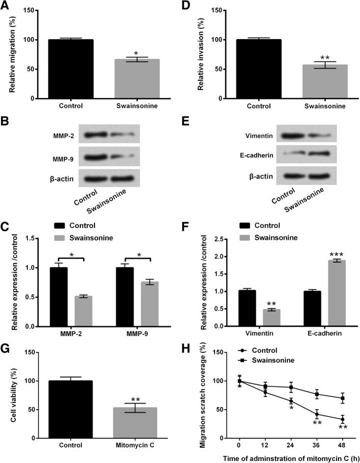 Swainsonine restrained U251 cells migration and invasion. U251 cells were disposed by 30 μM Swainsonine for 12 h. a - c cell migration, as well as matrix metalloproteinase (MMP)-2 and MMP-9 were appraised by Transwell and western blot assays; d - f cell invasion as well as Vimentin and E-cadherin were detected by Transwell and western blot assays; g U251 cells were administrated with 10 μg/mL mitomycin C, and cell viability was evaluated by Cell Counting Kit-8 (CCK-8) assay; h the percentage of migration scratch coverage was examined by wound healing assay. * p