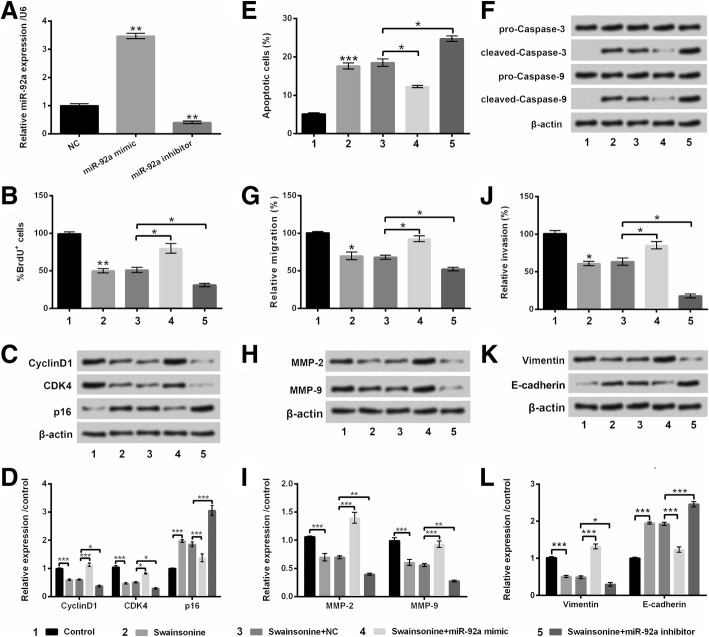 Swainsonine affected glioma cell growth, migration and invasion by regulating miR-92a. MiR-92a mimic, inhibitor and the relevant negative control (NC) were transfected into <t>U251</t> cells, and ( a ) the transfection efficiency of miR-92a mimic and miR-92a inhibitor was appraised by quantitative real-time polymerase chain reaction (qRT-PCR); b BrdU positive cells was detected by Bromodeoxyuridine (BrdU) assay; c and d CyclinD1, Cyclin-dependent kinase 4 (CDK4), and p16 were appraised by western blot; e and f cell apoptosis and pro-Caspase-3, pro-Caspase-9, cleaved-Caspase-3 and cleaved-Caspase-9 were appraised by utilizing flow cytometry and western blot assays; g - l cell migration, invasion, the protein levels of matrix metalloproteinase (MMP)-2/− 9, Vimentin and E-cadherin were detected by Transwell and western blot assays. * p