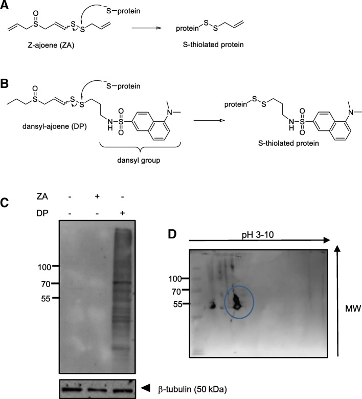Purification and Identification of Vimentin from DP-treated MDA-MB-231 cells. Proposed disulfide exchange reaction occurring between a cysteine sulfhydryl group on a target protein with ( a ) Z-ajoene (ZA) or its analogue ( b ) dansyl-ajoene (DP). ( c ) Lysate collected from MDA-MB-231 breast cancer cells treated with 25 μM ZA or DP show many dansyl-labelled proteins by immunoblot when probed with an anti-dansyl primary antibody in the DP-treated sample only. The experiment was performed under non-reducing conditions. ( d ) Separation of the dansyl-labelled proteins in MDA-MB-231 cell lysate by 2D gel electrophoresis under non-reducing conditions. A predominant band (circled) was observed in the immunoblot which was excised from the corresponding gel and identified by MALDI-TOF MS/MS to be vimentin