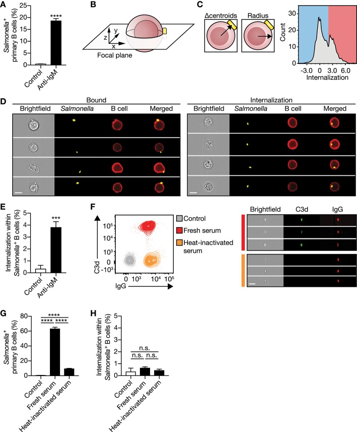 IgM - BCR stimulation specifically promotes large particle internalization. (A) Proportion of primary human B cells interacting with control or anti-IgM-coated S. typhimurium ( n = 9). (B) Schematics of a B cell: S. typhimurium interaction. Internalization was assessed using a high-throughput quantitative image analysis approach for S. typhimurium located in the same focal plane as the human B cell only. (C) To discriminate between bound and internalized S. typhimurium , analysis masks were generated to determine the center of both the B cell and S. typhimurium . Internalization was defined as the distance between the two centroids (left) after correction for the B cell radius as a measure for the cell size (middle). Internalization was plotted against the event count (right). The red/blue shadings behind the plot indicate the portion of cells that bound (blue) or internalized (red) large particles. Events that had a calculated value similar to or > 2 were defined as being internalized. (D) Representative images of primary human B cells containing bound (left) or internalized (right) S. typhimurium . Bar, 7 μm. (E) Proportion of internalization of control or anti-IgM-coated S. typhimurium within Salmonella + primary human B cells ( n = 9). (F) Representative plots (left) and images (right) of S. typhimurium opsonized with antibodies (IgG) or together with complement (C3d) derived from human serum. Bar, 7 μm. (G–H) Proportion of primary human B cells that interacted with (G) and internalized (H) serum-opsonized S. typhimurium ( n = 9). Bars depict mean values and error bars are SEM. *** P