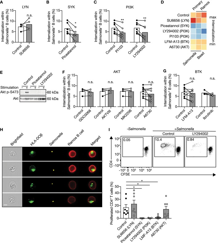 IgM - BCR-mediated signaling through SYK and PI3K facilitate large particle internalization. (A–C) Proportion of internalization within S. typhimurium + primary human B cells after treatment with inhibitors of LYN [ (A) ; n = 4], SYK [ (B) ; n = 6] or PI3K [ (C) ; n = 7]. (D) Heatmap of the mean proportion of internalization within S. typhimurium + or 3μm polystyrene bead + primary human B cells and Ramos B cells after treatment with inhibitors of LYN, SYK, PI3K, BTK, or AKT. Heatmap colors indicate effect on internalization. (E) Immunoblot of whole cell extracts from Ramos B cells that were unstimulated (−) or stimulated (+) with S. typhimurium after incubation with inhibitors of SYK (Piceatannol) or PI3K (LY294002). The blots were probed with specific antibodies for pAKT at S473 and AKT. (F,G) Proportion of internalization within S. typhimurium + primary human B cells after treatment with inhibitors of AKT [ (F) ; n = 4 and 9] or BTK [ (G) ; n = 8 and 5]. (H) Representative images of Ramos B cells expressing GFP-tagged HLA-DOβ having internalized S. typhimurium. S. typhimurium -containing phagosomes localize to the HLA-DOβ-containing MHC class II-antigen loading compartments. Bar, 7μm. (I) Representative plots (top) and quantification (bottom) of the proportion of proliferated CD4 + T cells after co-culture with S. typhimurium- primed autologous primary human B cells that were treated with inhibitors ( n = 7). All data points represent the mean of an individual experiment with duplicate measurements. Error bars indicate SEM. * P