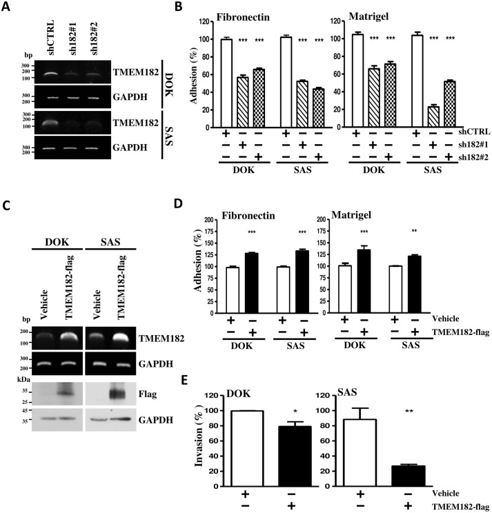 TMEM182 decreases OSCC cell motility. (A) RT-PCR analyses were performed to detect mRNA expression level of TMEM182 in DOK and SAS cells transfected withTMEM182 knockdown clones-shRNA clone 1 (sh182#1), clone 2 (sh182#2), or empty vector (shCTRL). GAPDH was used as a loading control. (B) Suppression of cell adhesive ability was found in TMEM182-knockdown cells towards to fibronectin and matrigel. (C) RT-PCR and Western blot analyses measured the levels of TMEM182 in vehicle or TMEM182-flag transfected cells. GAPDH and α-tubulin were used as loading controls. (D-E) Cell adhesion and invasion analyses of TMEM182 overexpression in DOK and SAS were measured. Data was represented as mean±SEM; * P