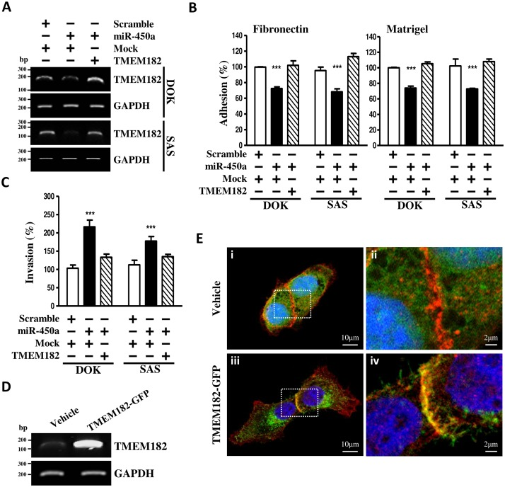 Overexpression of TMEM182 renders human OSCC cells resistance to miR-450a-decreased cell adhesion. (A) Changes of TMEM182 levels in OSCC cells transfected with control miRNA (scramble)/miR-450a and pCDH-CMV-GFP puro+ (vehicle)/TMEM182 (TMEM182-flag) were assessed by RT-PCR as described in panel. GAPDH was used as a loading control. (B) Cell adhesion assays of OSCC cells transfected with scramble/miR-450a and vehicle/TMEM182-flag were as described above. (C) Transwell invasion assays were used to measure the effect of scramble/miR-450a and vehicle/TMEM182-flag in DOK and SAS cells after 48 hrs transfection. (D) TMEM182 overexpression in SAS cells was confirmed with RT-PCR after transfection of GFP-linked TMEM182 (TMEM182-GFP) and empty vector pEGFPN1 (vehicle). (E) Representative epifluorescence images of SAS cells transiently transfected with TMEM182-GFP/ Vehicle and co-immunolabeled endogenous E-cadherin. Vehicle (Green) expression was scattered inside of cells (D-i, D-ii) . Co-stained E-cadherin (Red), as a plasma membrane marker, was localized at the lateral membrane and intracellular junctional area. Nuclei were labeled with DAPI (Blue).TMEM182-driven GFP(green) was co-localized with E-cadherin (red) at the sites of cell-cell contact on the plasma membrane (D-iii, D-iv) . Original magnification, x400. Data was represented as mean±SEM; * P