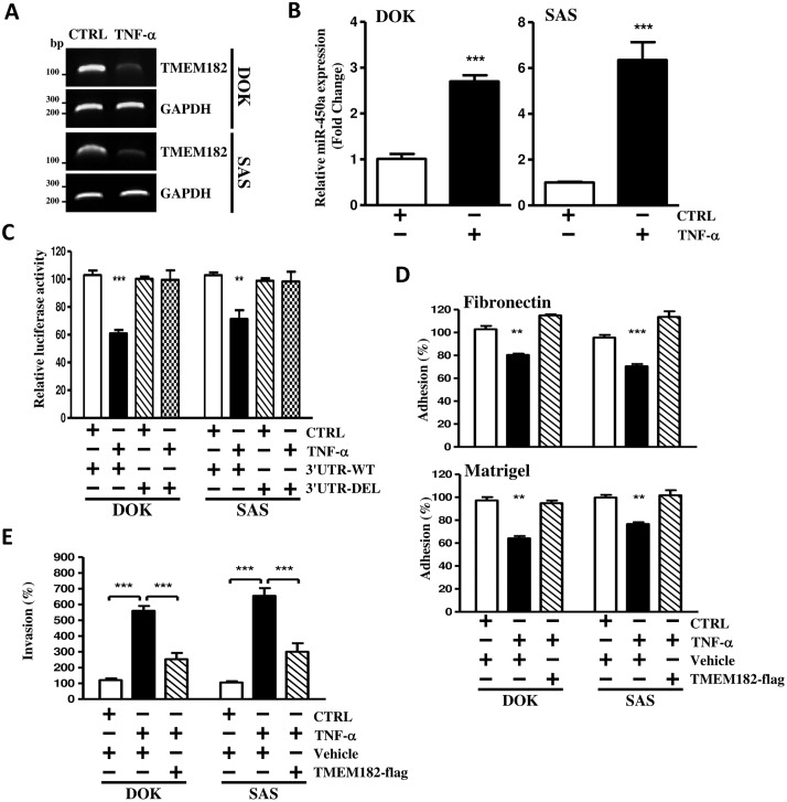 TMEM182 is down-regulated by miR-450a in response to TNF-α in OSCC cells. (A) Levels of TMEM182 in DOK and SAS cells treated with either ddH 2 O (CTRL) or TNF-αwere assessed with RT-PCR. GAPDH was used as a control. (B) miR-450a changes in DOK and SAS cells treated with or without TNF-α were measured with qPCR and normalized to RNU44. (C) Luciferase activity measured that TNF-α regulated TMEM182 through miR-450a binding site at 3'-UTR. Cells were transfected with TMEM182 3'-UTRs constructed either with wild-type (3'-UTR-WT) or miR-450a binding site truncated (3'-UTR-DEL), before TNF-α was added for 24 hrs as described in panel. Relative luciferase activities were the ratios of Renilla luciferase normalized to the wild-type control. (D-E) Cells were transfected with either empty vector pCDH-CMV-GFP puro+ (Vehicle) or TMEM182 (TMEM182-flag) followed by the stimulation with TNF-α for 24 hrs, and then, corresponding adhesion ability and invasion ability were measured. Data are represented as mean±SEM; ** P