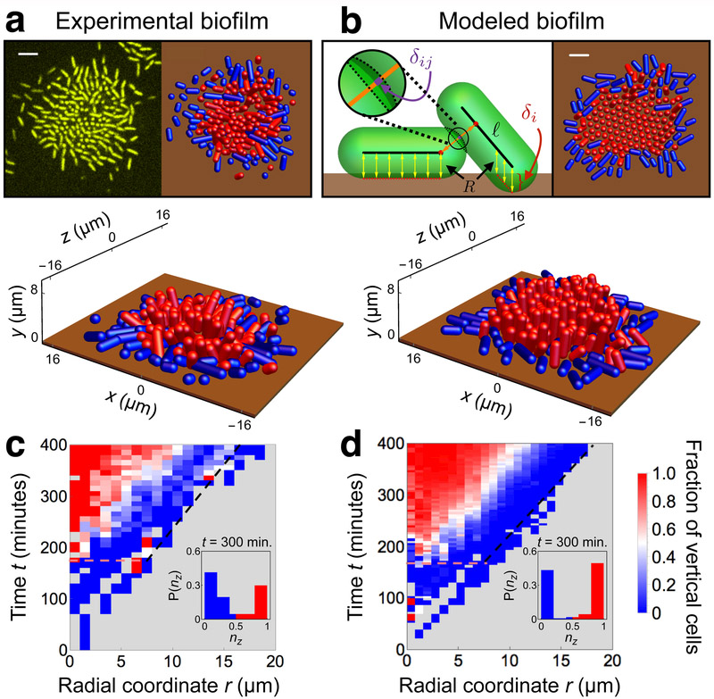 Development of experimental and modeled biofilms. ( a , b ) Top-down and perspective visualizations of the surface layer of ( a ) experimental and ( b ) modeled biofilms, showing positions and orientations of horizontal (blue) and vertical (red) surface-adhered cells as spherocylinders of radius R = 0.8 μm, with the surface shown at height z = 0 μm (brown). Cells with n z