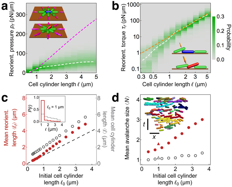 """Mechanics of cell reorientation in modeled <t>biofilms,</t> ( a-b ) Properties of individual cells at the time t r of reorientation, defined as the time of the peak of total force on the cell prior to it becoming vertical. Analyses are shown for all reorientation events among different biofilms simulated for a range of initial cell lengths ℓ 0 ( a ) Distributions of reorientation """"surface pressure"""" p r , defined as the total contact force in the xy plane acting on a cell at time t r , normalized by the cell's perimeter, versus cell cylinder length ℓ . The white dashed curve shows the average reorientation surface pressure ⟨ p r ⟩ as a function of ℓ . The magenta dashed curve shows the threshold surface pressure p t from linear stability analysis for a modeled cell under uniform pressure, depicted schematically in the inset, ( b ) Distributions of the logarithm of reorientation torque τ r , defined as the magnitude of the torque on a cell due to cell-cell contact forces in the z direction at time t r , for different cell cylinder lengths ℓ . The white dashed curve shows the average values ⟨log τ r ⟩ as a function of ℓ . The orange dashed curve shows the scaling τ t ~ ℓ 2 of the threshold torque for peeling from linear stability analysis for a modeled cell, depicted schematically in the inset, ( c ) Mean reorientation length ⟨ ℓ r ⟩ (red), defined as the average value of cell length at t r , and mean cell cylinder length ⟨ ℓ ⟩ (gray), defined as the average length of all horizontal cells over all times of biofilm growth, averaged over ten simulated biofilms, each with initial cell cylinder length ℓ 0 , plotted versus ℓ 0 . The inset shows the distribution of reorientation lengths (red) and horizontal surface-cell lengths (gray) for ℓ 0 = 1 μm. ( d ) Mean avalanche size ⟨ N ⟩, defined as the average size of a cluster of reorienting cells that are proximal in space and time ( Supplementary Figs. 8 - 10 ), versus initial cell length ℓ 0 for the experimental biofilm (red """