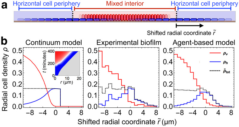 Two-component fluid model for verticalizing cells in biofilms. ( a ) Schematic illustration of the two-component continuum model. Horizontal cells (blue) and vertical cells (red) are modeled, respectively, by densities ρ h and ρ v in two spatial dimensions. The total cell density ρ ~ tot is defined as ρ h + ξρ ν , where ξ is the ratio of vertical to horizontal cell footprints. ( b ) Radial densities ρ of vertical cells ( ρ v , red), horizontal cells ( ρ h , blue), and total density ( ρ ~ tot , black), versus shifted radial coordinate r ~ , defined as the radial position relative to the boundary between the mixed interior and the horizontal cell periphery. Results are shown for the continuum model (left; radial cell density in units of μm −2 ), the experimental biofilm (middle; radial cell density in each μm-sized bin averaged over an observation window of 50 minutes), and the agent-based model biofilm (right; radial cell density in each μm-sized bin averaged for ten biofilms over an observation window of 6 minutes). For the continuum model and the agent-based model biofilms the parameters were chosen to match those obtained from the experiment ( Supplementary Figs. 12 - 13 ). Inset in the left-most panel shows the fraction of vertical cells in the continuum model at a given radius from the biofilm center (gray regions contain no cells, color scale is the same as in Fig. 1 ).