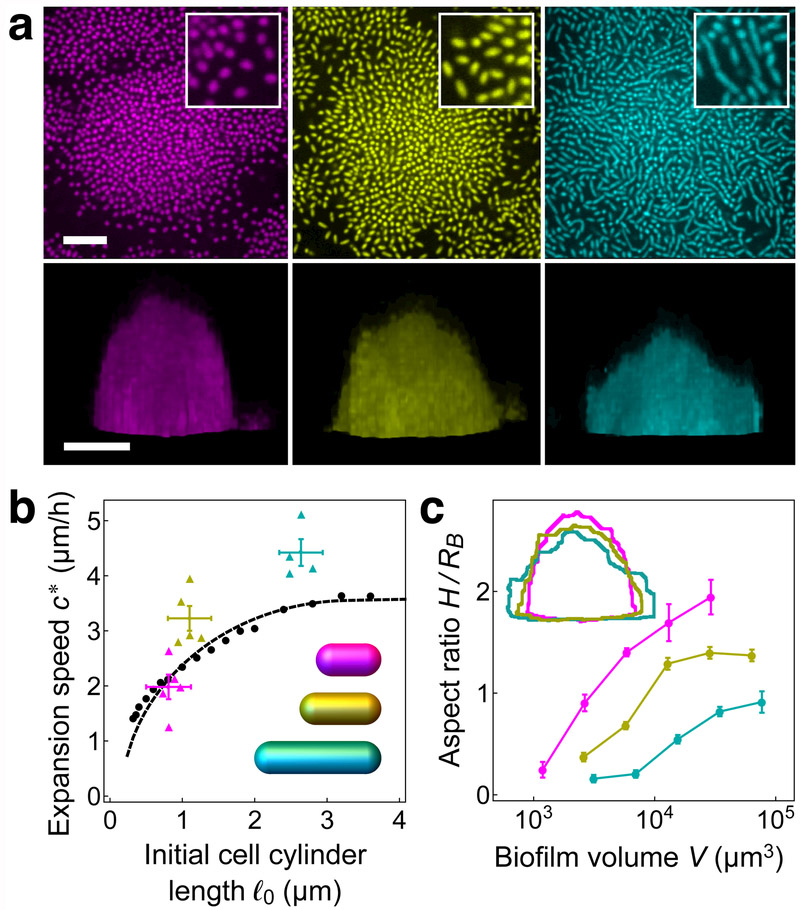 Global morphological properties of experimental and modeled biofilms, ( a ) Top-down (upper row) and side views (lower row) of experimental biofilms grown with 0.4 μg/mL A22 (magenta), without treatment (yellow), and with 4 μg/mL Cefalexin (cyan), following overnight growth (upper row) and 7 hours after inoculation (lower row). Scale bar: 10 μm. Insets show magnifications of 10 μm 2 -sized regions of top-down views taken from the peripheries of biofilms. ( b ) Expansion speed c *, defined as the speed of the biofilm edge along the surface, versus the initial cell cylinder length ℓ 0 for experimental biofilms (A22, magenta; no treatment, yellow; Cefalexin, cyan), agent-based model biofilms (black circles), and continuum model (dashed black curve). Expansion velocities were determined from a linear fit of the basal radius R B of the biofilm versus time, where R B is defined at each time point as the radius of a circle with area equal to that of the biofilm base. For experimental biofilms, the boundary was extracted from the normalized fluorescence data (see Methods for details). For each treatment, the vertical error bars show the standard error of the mean of the expansion speed and the horizontal error bars bound the measured initial cell cylinder length ( Supplementary Fig. 1 ). Inset: model cells with lengths and radii corresponding to the averages for different treatments, ( c ) Biofilm aspect ratio H/R B for experimental biofilms grown under different treatments, where the biofilm height is defined as H = 3 V ∕ 2 R B 2 , the height of a semi-ellipsoid with a circular base of radius R B and volume V equal to that of the biofilm. Error bars show the standard error of the mean. Inset: overlay of biofilm outlines from bottom row of panel ( a ). Color designations and treatments same as in panel ( a ).