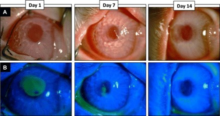 Corneal re-epithelialization after in vivo application of the bioadhesive to corneal defects in rabbit cornea. ( A ) Representative <t>slit</t> <t>lamp</t> photographs and ( B ) cobalt blue with fluorescein staining after in vivo application of GelCORE adhesive to rabbit cornea at different time points. Progressive reduction in the size of corneal epithelial defect (green area in the central cornea) implicates epithelial migration over GelCORE. (Photo credit: Ahmad Kheirkhah, MEE, Harvard Medical School)