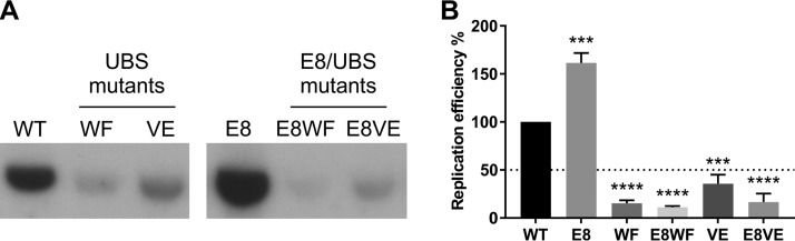 Eliminating the expression of the E8^E2 repressor protein further decreases the replication efficiency of HPV11 genomes unable to bind UAF1. (A) Southern blot analysis of total DNA extracted from U2OS cells transfected with HPV11 WT, UBS mut , E8 mut , and E8 mut UBS mut genomes. Total cellular DNA was extracted from HPV11-transfected U2OS cells 72 h posttransfection and digested prior to analysis with the single-cutter restriction enzyme HindIII and the methylation-sensitive restriction enzyme DpnI. The results are representative of 2 experiments. (B) Bar graph representing the replication efficiencies of different HPV11 genomes relative to the replication efficiency of the WT genome. Data represent quantitated Southern blot signals from 2 separate experiments; statistical significance was determined using ordinary one-way ANOVA followed by Dunnett's multiple-comparison test. Error bars represent the standard deviations.