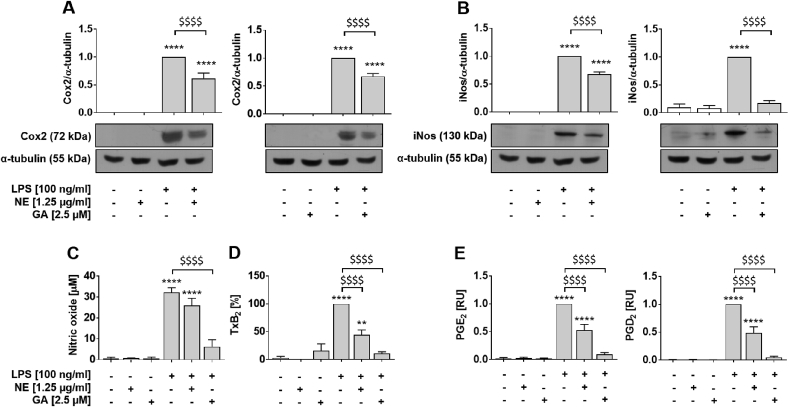 Lipopolysaccharide-induced expression of iNos and Cox2 protein and secretion of respective signaling molecules are more potently blocked by GA compared to NE. RAW264.7 macrophages were incubated with either solvent (DMSO, white bars), NE or GA, or co-incubated with 100 ng/ml LPS (grey bars). The NE and GA decreased the protein expression of (A) Cox2 and (B) iNos after 24 h pre-incubation with NE or GA followed by 14 h and 24 h co-incubation with LPS, respectively. Samples incubated with LPS were defined as reference and were set as one. Protein levels were normalized to α-tubulin for quantification and representative Western blots are shown (for un-chopped versions see Suppl. Fig. S6 ). (C) Basal NO production, determined using Griess assay, were affected neither by the NE nor GA, whereas LPS-induced the formation of NO was significantly decreased by NE and even more effectively by purified GA. Treatment of RAW264.7 macrophages to measure released (D) TxB 2 and (E) PGs into culture supernatants followed the description in Fig. 2 except for use of 2.5 μM GA. Neither the NE nor GA altered the basal release of prostanoids. Treatment with LPS significantly induced TxB 2 and PG levels in the supernatant of macrophages and was set to 100% or one, respectively. Both, NE and GA decreased the release of TxB 2, PGE 2 and PGD 2 by LPS-activated macrophages Means of three independent biological experiments measured in two technical replicates (A,B) , three (C) , six (D) or four to five (E) independent biological experiments are shown; error bars display SEM. *, p