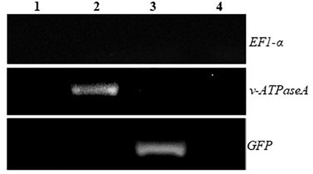 RT-PCR after removal of ssRNA using <t>RNAseA</t> to demonstrate the presence of annealed <t>v-ATPaseA</t> and GFP dsRNA in transplastomic plants. 1, WT plant; 2, v-ATPAseA dsRNA producing plant; 3, GFP dsRNA producing plant; and 4, No template control. Tobacco EF1-α gene specific primers were used to ensure that all ssRNA was removed by the RNAseA treatment.