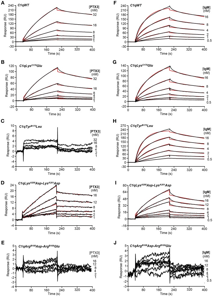 Kinetic analyses of the interaction of PTX3 and IgM with immobilized C1q variants. Sixty microliter of PTX3 at the indicated concentrations were injected over (A) C1qWT (16,300 RU), (B) C1qLys C170 Glu (17,000 RU), (C) C1qTyr B175 Leu (12,200 RU), (D) C1qLys A200 Asp-Lys A201 Asp (18,400 RU), and (E) C1qArg B108 Asp-Arg B109 Glu (17,500 RU) in 50 mM Tris-HCl, 150 mM NaCl, 2 mM CaCl 2 , 0.005% surfactant P20, pH 7.4 at a flow rate of 20 μl/min. (F–J) IgM was injected over the immobilized C1q variants under the same conditions as in (A–E) . The binding signals shown were obtained by subtracting the signal over the BSA reference surface and further subtraction of buffer blanks. Fits are shown as red lines and were obtained by global fitting of the data using a 1:1 Langmuir binding model. Chi2 values were between 0.25 and 5.8. Each kinetic analysis shown is representative of two to five independent experiments performed on separate sensor chips.