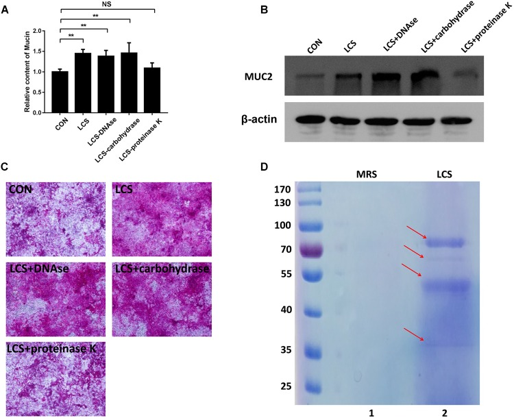 Characterization of soluble protein detected from <t>LCS.</t> LCS was pretreated with proteinase K, <t>DNAse</t> or carbohydrase, then the digested products were applied to treat Caco-2 monolayers, the soluble mucin (A) and mucin-covered Caco-2 surface ( C , upper panel) were detected using PAS assay, expression of MUC2 ( B , middle and lower panels) was evaluated by immunoblot, β-actin was used as loading control. (D) LCS was precipitated and separated by SDS-PAGE (Lane 2). Data are given as means ± SEM; ∗∗ P