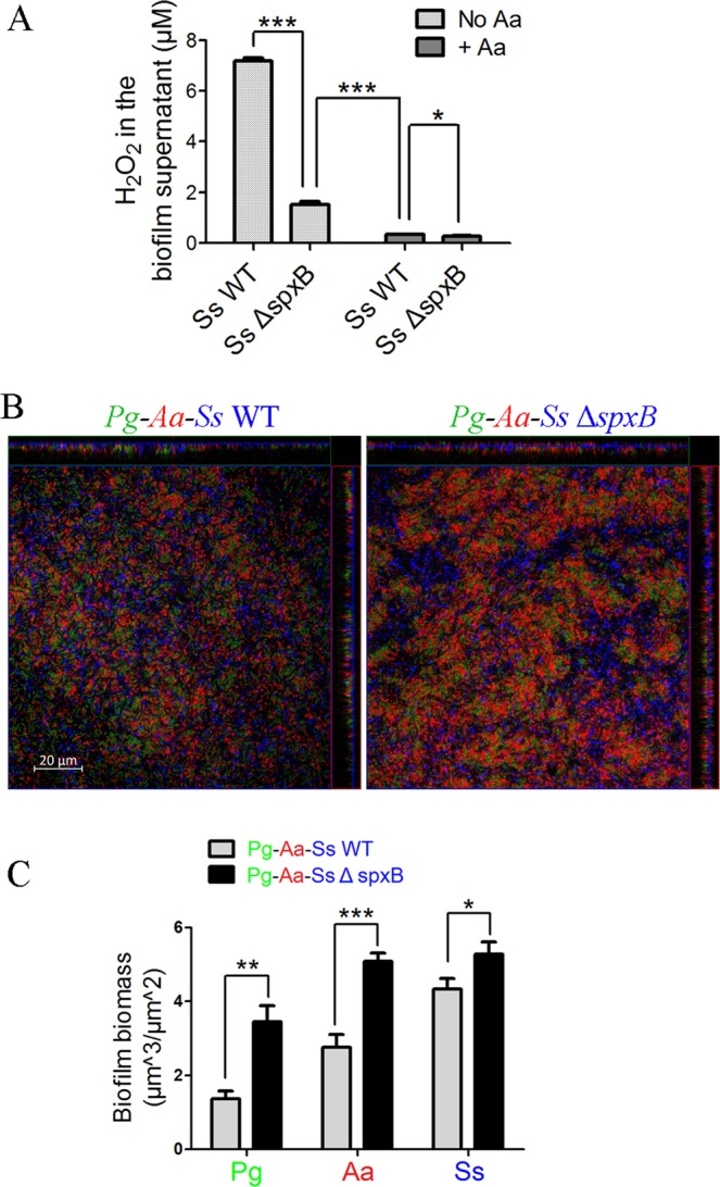 The effect of the spxB gene deletion on Pg biomass in Pg-Aa-Ss tri-species biofilms under micro-aerobic conditions. ( A ) Ss WT and Ss Δ spxB biofilms with/without the supplement of Aa were cultured. The H 2 O 2 concentration in the supernatant of these biofilms was measured by the Hydrogen Peroxide Assay as described in Materials and methods. ( B ) Pg - Aa - Ss WT (left) and Pg - Aa-Ss Δ spxB tri-species (right) ( Pg = green, Ss = blue, Aa = red) biofilms were shown. ( C ) The biomass of Pg , Aa and Ss in B was quantified by COMSTAT and shown as a bar chart. Scale bars were indicated on the corresponding images. *P ≤ 0.05, **P ≤ 0.01, ***P ≤ 0.001, Student's t- test. Means and standard deviations from triplicate experiments are shown.