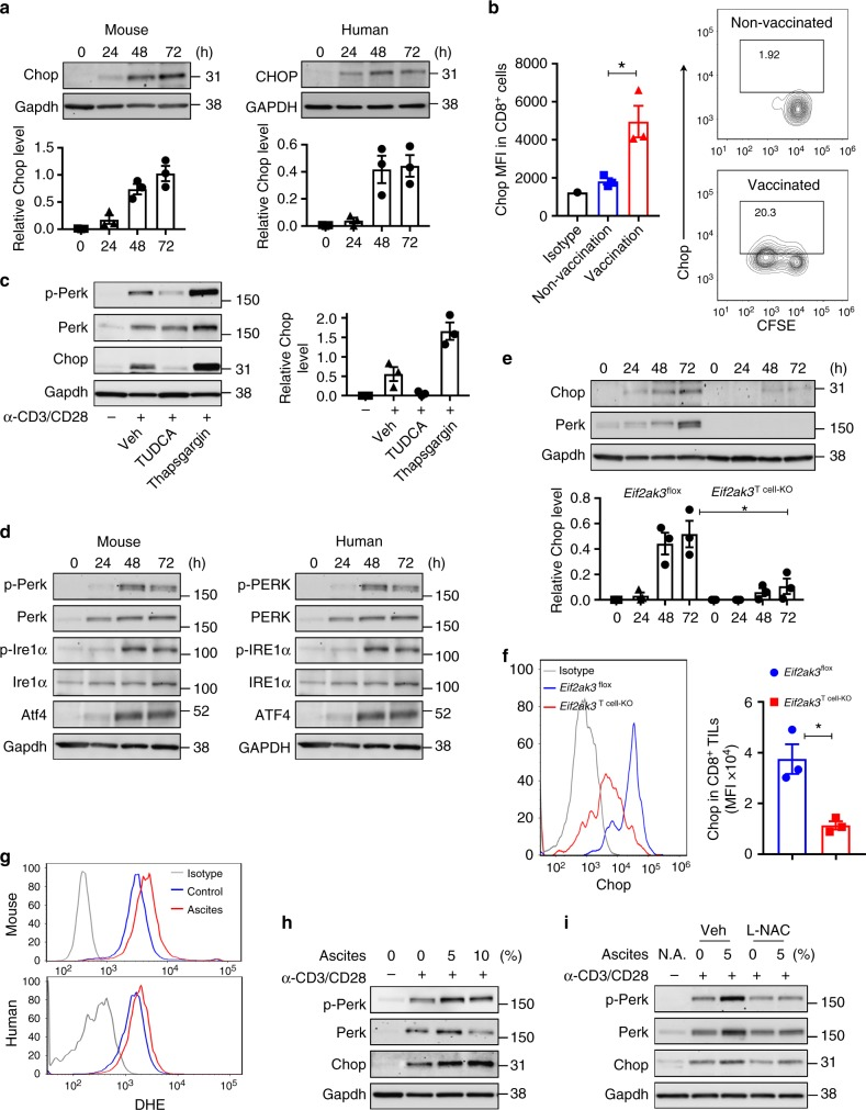 Perk regulates Chop expression in primed CD8 +  T cells and CD8 +  TILs.  a  Upper panel: Time-dependent induction of Chop in murine (left) and human (right) T cells primed in vitro. T cells were stimulated with anti-CD3/CD28 and collected at the indicated time points (0–72h). Lower panel: Densitometry quantitation of immunoblots ( n =3).  b  Carboxyfluorescein succinimidyl ester-labeled Pmel CD8 +  T cells (CD90.1 + ) were transferred into wild-type mice (CD90.2 + ), followed or not by vaccination with gp100 25–33  plus IFA. On day 4, Chop levels by mean fluorescence intensity (MFI) (left) and percentage of Chop +  cells (right) were established by fluorescence-activated cell sorter (FACS) in gated CD8 +  CD90.1 +  T cells from lymph nodes of vaccinated vs. non-vaccinated mice ( n =3).  c  Left: Tauroursodeoxycholic acid (0.5mM, at time 0) or Thapsigargin (100nM, after 48h) were added to CD8 +  T cells stimulated with plate-bond anti-CD3/CD28. Protein extracts were collected 72h post-activation. Right: Quantitation of immunoblots ( n =3).  d  Unfolded protein response mediators Perk, Ire-1α, and Atf4 in stimulated murine (left) and human (right) T cells (0–72h). Representative Immunoblot from  n =3.  e  CD8 +  T cells from  Eif2ak3 flox  or  Eif2ak3 T cell-KO  mice were primed with anti-CD3/CD28 for 0–72h. Upper panel: Chop and Perk detected by immunoblotting; lower panel: Densitometry quantitation of immunoblots ( n =3).  f  Chop MFI levels in CD8 +  TILs from B16-bearing  Eif2ak3 flox  and  Eif2ak3 T cell-KO  mice ( n =3). Chop was detected in viable CD45 + CD8 +  TILs by FACS (left) and MFI values compiled (right).  g  Representative reactive oxygen species levels in murine and human DHE-labeled CD8 +  T cells activated with anti-CD3/CD28 and treated for 24h with 5% cell-free ovarian ascites obtained from mice bearing ID8- Defb29 / Vegf-a  ovarian tumors or 5% primary ascites from patients with ovarian cancer, respectively ( n =4).  h  Murine CD8 +  T cells were