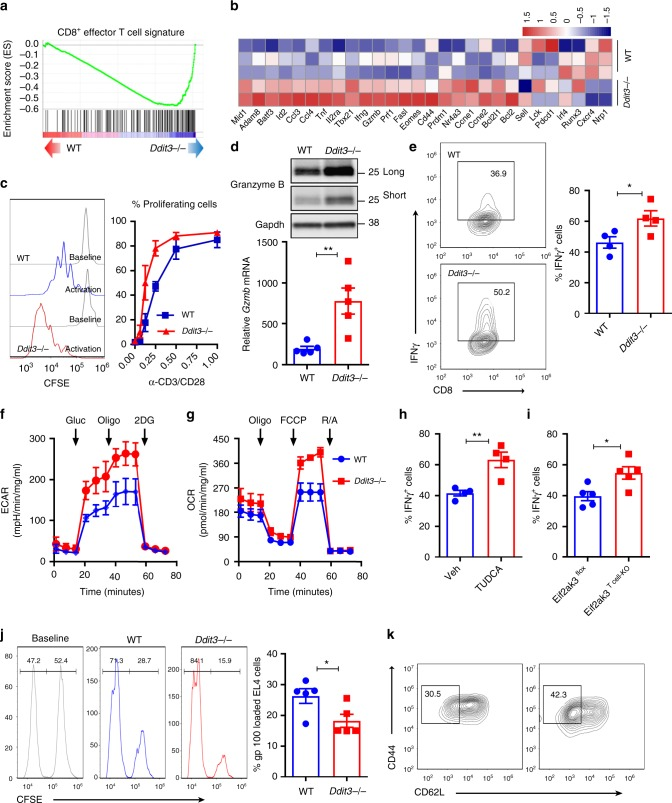 Chop negatively regulates effector CD8 +  T cell activity.  a  Gene set enrichment analysis was performed to determine the specific enrichment in effector CD8 +  T cell gene signature in primed wild-type or  Ddit3 −/− Pmel CD8 +  T cells.  b  Heatmap showing the expression of selective effector function-related transcripts in primed wild-type vs.  Ddit3 −/− Pmel CD8 +  T cells, as described in the Methods section.  c  Carboxyfluorescein succinimidyl ester (CFSE)-labeled wild-type or  Ddit3 −/− CD8 +  T cells were stimulated with anti-CD3/CD28 and proliferation tested after 72h by fluorescence-activated cell sorter (FACS). Left: representative histogram of T cell proliferation (n=6); right: T cell proliferation rates under different concentrations of anti-CD3/CD28 (µg/ml) ( n =6).  d  Granzyme B protein (upper panel, long- and short-time exposure) and  Gzmb  mRNA levels (lower panel) in wild-type or  Ddit3 −/− CD8 +  T cells primed with anti-CD3/CD28 for 72h ( n =5).  e  Percentage of IFNγ +  cells in wild-type or  Ddit3 −/− CD8 +  T cells primed as in ( d ). Right: representative FACS findings; left: merged percentage values from  n =4.  f  Extracellular acidification rate (ECAR) of wild-type or  Ddit3 −/− CD8 +  T cells primed as in  d  upon glycolysis stress analysis ( n =3).  g  Oxygen consumption rate (OCR) of wild-type or  Ddit3 −/− CD8 +  T cells activated as in  d  after mitochondrial stress analysis ( n =3).  h ,  i  Percentage of IFNγ +  cells in CD8 +  T cells primed in the presence of Tauroursodeoxycholic acid ( n =4) ( h ) or from  Eif2ak3 flox  or  Eif2ak3 T cell-KO  mice ( n =5) ( i ).  j  In vitro cytotoxicity of wild-type and  Ddit3 −/− CD8 +  Tcells was assessed by measuring EL-4 cell proportion after co-culturing gp100 25–33  pre-activated wild-type or  Ddit3 −/− Pmel CD8 +  T cells with EL-4 cells loaded with gp100 25–33  or control peptide (high or low CFSE, respectively). Cytotoxicity was evaluated after 24h of co-culture by FACS. Right: represe
