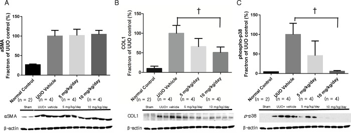 Fibrosis-related renal protein expression as assessed with Western blot. (A) Expression of αSMA did not decrease after p38 MAPK inhibitor administration. (B) Expression of COL1 decreased significantly after administration of 10 mg/kg/day p38 MAPK inhibitor. (C) Expression of phosphorylated p38 MAPK decreased significantly after administration of 10 mg/kg/day p38 MAPK inhibitor. αSMA, α-smooth muscle actin; COL1, type 1 collagen. † , P