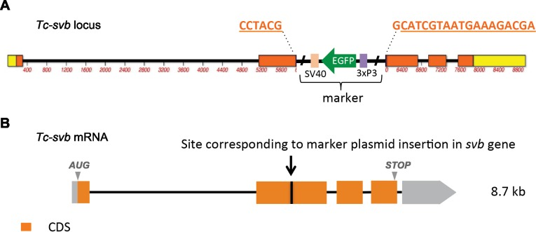 Schematic representation of Tc-shavenbaby locus ( A ) and transcript ( B ), showing the site at which a GFP-containing marker plasmid was inserted by CRISPR/cas9 genome editing (see also Materials and methods). The mutagenic cassette is inserted into exon 2, that is within the open reading frame upstream of the region encoding the DNA-binding zinc finger domain. Gene disruption leads to mRNA truncation after the insertion site, since Tc-svb expression is absent in homozygous mutants. In addition to segmentation defects and transformation toward thoracic identity, other phenotypes observed in Tc-svb CRISPR mutants include incipient spiracles (possibly a secondary effect of cuticle thinning leading to a defect in the development of tracheal rings); sensory bristles that are shorter and thicker; leg segment boundaries that are not clearly defined; missing leg bristles; unsclerotized pretarsi with soft, rounded apices; and antennae lacking the terminal setae. Therefore, late functions of Tc-svb in epidermal and appendage differentiation are strongly affected in Tc-svb CRISPR mutant embryos, while the segmentation phenotype is milder that Tc-svb -RNAi knockdown due to maternal contribution of Tc-svb (Ray et al., in preparation).