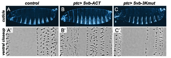 Effect of modified forms of the <t>Svb</t> protein on epidermal trichome formation. <t>UAS-GFP</t> (control) ( A,A' ), UAS-Svb-ACT ( B,B' ) and UAS-Svb-3Kmut ( C,C' ) were expressed in the embryonic epidermis under the control of the ptc-Gal4 driver. Top rows show whole embryo cuticles ( A–C ), the bottom row shows close-ups in the ventral region of the third abdominal segment ( A'–C' ). Svb-ACT, which lacks the N-terminal repressor domain and thus mimics the processed form of Svb, acts as a constitutive activator of transcription and triggers the production of ectopic trichomes. In contrast, Svb-3Kmut -bearing mutations on the 3 Lysines ubiquitinated by Ubr3 in response to Tal peptides- behaves as a repressor and counteracts endogenous Svb activity, resulting in loss of trichomes.