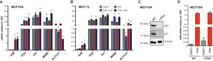 Inactivation of p53 does not affect A3B expression. (A and B) Bar plots of RT-qPCR measurements of relevant genes in MCF10A (A) and MCF7L (B) cells treated with <t>DMSO,</t> 5 µM nutlin, <t>PMA,</t> or nutlin + PMA. Statistically significant changes by Student's t test ( P