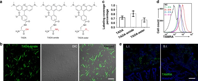 The FDAA probes used in this study and their labeling of gut microbiota in vivo. a Structures of TADA, TADA-amide, and TADA-ester. b Confocal fluorescence images of gut microbes from mice administered with TADA-amide. DIC, differential interference contrast. Scale bar, 10 μm. c Statistical analysis of the labeling coverage for gut microbes labeled with TADA, TADA-amide, and TADA-ester. Mean ± s.d. are presented for n = 3. d Flow cytometry analysis of TADA-amide-labeled gut microbiota with different labeling time. NC negative control; 1 × 4 h, one gavage and microbiotas collected 4 h later; 2 × 3 h, two gavages with a 3 h interval, and microbiotas collected 3 h after the second gavage. e Confocal fluorescence imaging of the transplanted gut microbiota (green) on the tissue sections of the recipient mouse's large intestine (L.I.) and small intestine (S.I.). Hoechst 33342 (blue) was used for nuclear counterstain. In b , e , representative results from three independent experiments are shown. Scale bar, 50 μm