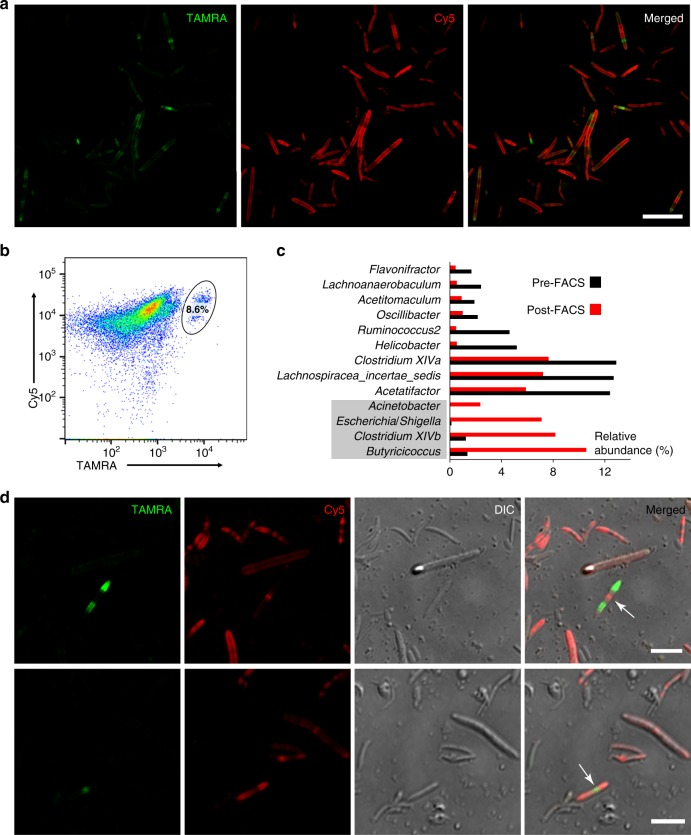 Two-color fluorescence analyses of the transplanted microbiotas. a Two-color fluorescence microscopy analyses of the transplanted microbiota from the recipient mice. Scale bar, 20 μm. b Flow cytometry analysis of the transplanted microbiotas from the recipient mice. The inserted ellipse indicates the survived transplants labeled with both colors, which accounts for 8.6% of the recipient mice's microbiota. c 16S rDNA sequencing of the bacteria before and after sorting uncovered that several bacterial genera were enriched in the transplantation survivors. d Gut bacteria with two classical dividing patterns were revealed by two-color fluorescence microscopy. Scale bars, 5 μm. Representative data from three independent experiments are shown