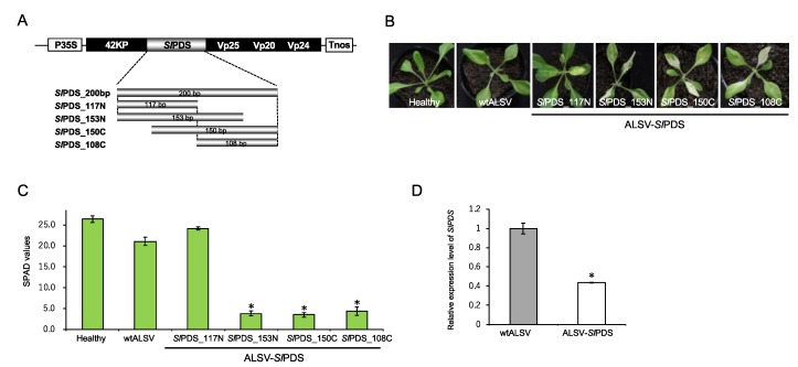 Virus-induced gene silencing (VIGS) of SlPDS gene in S. latifolia plants. ( A ) Schematic representation of ALSV- Sl PDS vectors used for VIGS. Four partial SlPDS fragments shown below, which differ in positions and length, were inserted into the artificial processing site of ALSV vector; ( B ) photographs of S. latifolia plants infected with ALSV- Sl PDS vectors at 20 dpi. Healthy represents a S. latifolia plant without any virus infection, and wtALSV represents a S. latifolia plant infected with wild-type ALSV vector without an SlPDS insert; ( C ) relative chlorophyll contents measured by the Soil Plant Analysis Development (SPAD) values in leaves infected with wtALSV and ALSV- Sl PDS vectors. SPAD values represent mean ± SE from three leaves of each plant ( n = 3 to 7). Asterisks indicate a significant difference between plants infected with wtALSV and those infected with each ALSV- Sl PDS vector at p