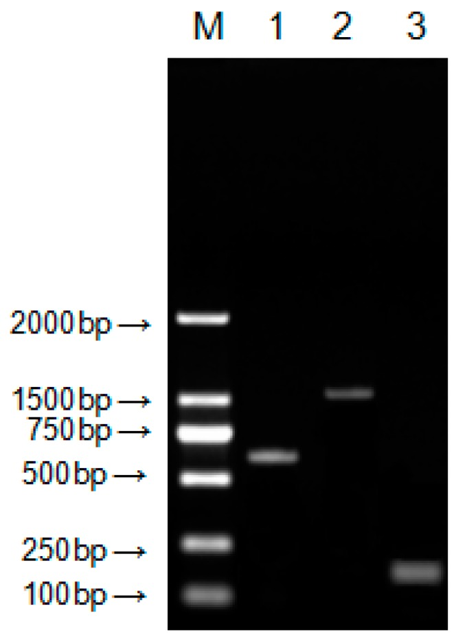 Agarose gel electrophoresis of Neovison vison DQA gene amplification. M: DL2000 <t>DNA</t> marker; ( 1) <t>PCR</t> product with primer pair F1U/F1L; (2) PCR Product with primer pair F2U/F2L; and (3) PCR product with primer pair F3U/F3L.
