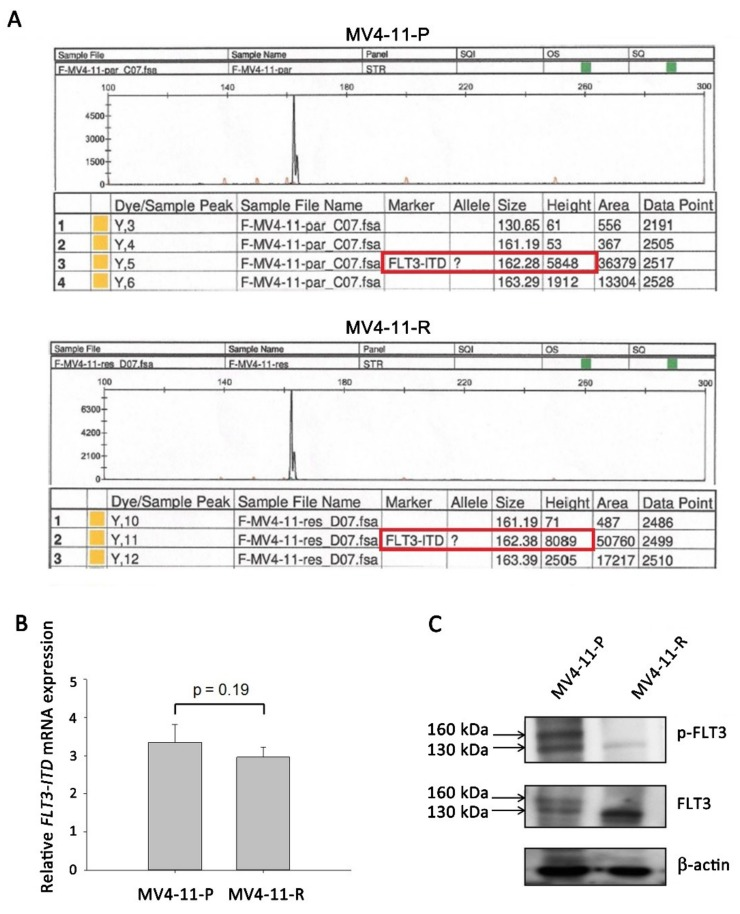 FMS-like tyrosine kinase 3 internal tandem duplication ( FLT3 -ITD) mutation and protein expression were detected in MV4-11-P and MV4-11-R cells. ( A ) GeneScan analysis showed the presence of the FLT3 -ITD mutation (162bps, red frame) instead of wildtype FLT3 (130bps) in both MV4-11-P and MV4-11-R cells. ( B ) FLT3 -ITD mRNA expression was revealed by qPCR. Data are representative of two independent experiments each performed in triplicate. ( C ) Total and phosphorylated FLT3 protein was observed in mature (160 kDa) and immature (130 kDa) forms. Representative Western blots of three independent experiments are shown.