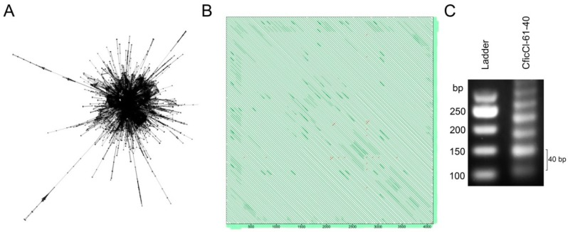 RepeatExplorer (RE) analysis of next-generation sequencing (NGS) data in Chenopodium diploids. ( A ) Cluster 61 of C. ficifolium demonstrate layouts that are typical for tandem repeats where nodes represent the sequence reads and edges between the nodes correspond to similarity hits; ( B ) Self-to-self comparisons of the contig 25 cluster 61 displayed as dot plots (genomic similarity search tool YASS program output) where parallel lines indicate tandem repeats (the distance between the diagonals equals the lengths of the motifs ~40 bp); ( C ) Agarose gel electrophoresis of PCR products obtained with primers designed from consensus monomer sequence of C. ficifolium (Cluster 61) showing typical ladder structure of tandem array.