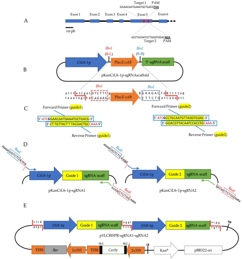 Overview of the experimental design for CiPDS disruption. ( A ) Schematic position of the two guide RNAs (red boxes) targeting the fifth exon of CiPDS . The blue boxes indicate exons; the black lines indicate introns. ( B ) Schematic view of pKanCiU6-1p-sgRNAscaffold. Between the CiU6-1p and the sgRNA scaffold (scaff), a ccdB gene driven by the LacZ promoter (counter selection marker) is surrounded by BbsI (second-generation enzyme) recognition sites, which allows the ligation of the hybridized guide adaptor shown in C . Red B-L depicts the orientation of the BbsI recognition site which achieves the cleavage on the left side. Blue B-R depicts the orientation of the BbsI recognition site which achieves cleavage on the right side. ( C ) Sequences of the complementary guide adaptors with the 19 pb guide sequence (yellow), the transcription initiator nucleotide G (bold), and the binding sites necessary to insert the hybridized guide adaptor into the pKanCiU6-1p-sgRNAscaffold (red). ( D ) Representation of the vector resulting from the insertion of the hybridized guide adaptors in the pKanCiU6-1p-sgRNAscaffold, (note that one vector is constructed for each guide). The primers used for preparation of CiU6-1p-guide-sgRNA cassettes for Golden Gate Cloning are also shown. ( E ) Representation of the final plasmid pYLCRISPR-sgRNA1-sgRNA2 resulting from the cloning of the two cassettes into the pYLCRISPR/Cas9P 35S -B [ 36 ]. RB = Right Border, LB = Left Border, NLS = Nuclear Localization Signal.