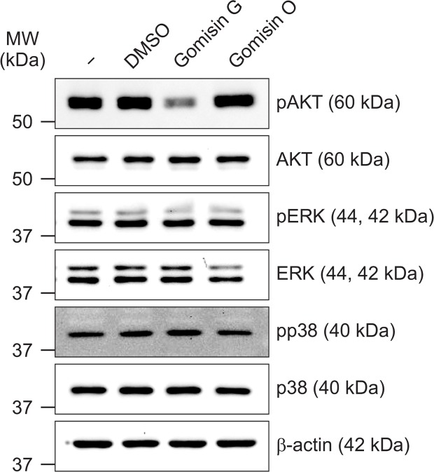 Gomisin G mediated alteration of AKT phosphorylation in LoVo cells. LoVo cells were treated with 10 μM Gomisin G or Gomisin O for 24 h and lysed. Equal concentrations of proteins were separated by SDS-PAGE and transferred to membrane blots. The blots were detected with pAKT, AKT, pERK, ERK, pp38, and p38 antibodies. β-actin was used as a loading control.