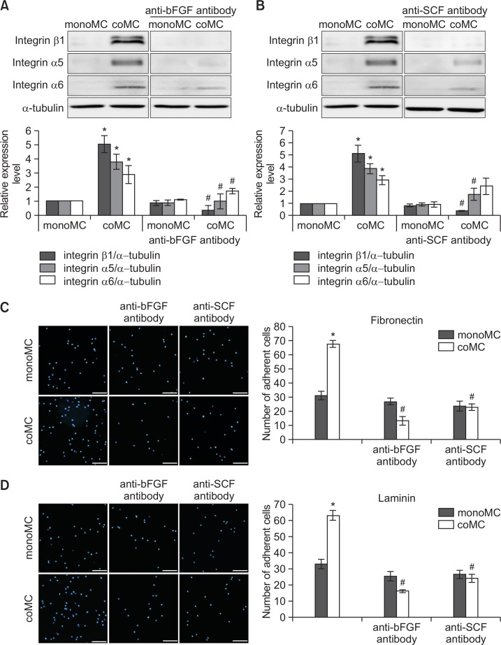 Upregulation of bFGF and SCF by ADSCs was involved in integrin-mediated melanocyte adhesion to ECM. (A, B) Western blot analysis for relative levels of integrins β1, α5, and α6 proteins in melanocytes treated with or without anti-bFGF (A) or anti-SCF antibody (B). (C, D) Adhesion assay using fibronectin- (C) or laminin-coated culture dishes (D) treated with or without anti-bFGF or anti-SCF antibody. Nuclei were stained with Hoechst 33258 (Bar=0.2 mm). These experiments were performed using melanocyte monocultures (monoMC) and melanocytes taken from upper insert after coculturing with ADSCs in lower chamber (coMC). Data in each graph represent mean ± SD of three independent experiments. * p