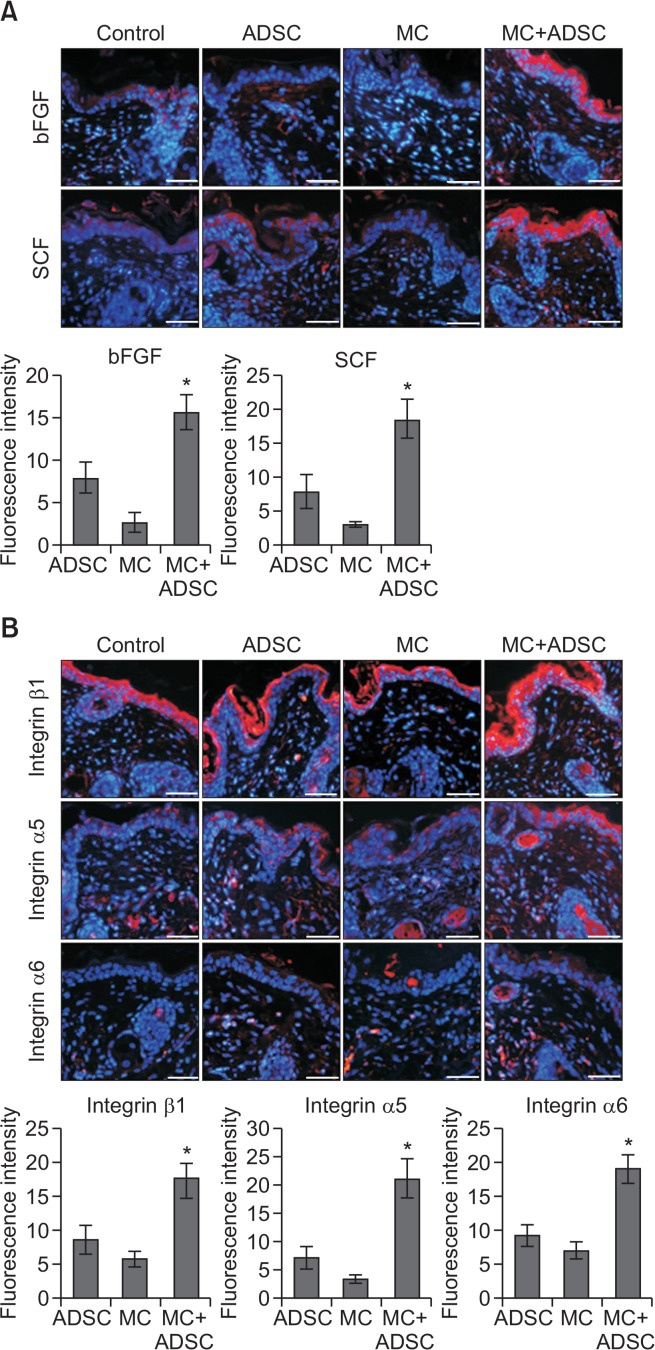 Grafting of melanocyte-ADSC cocultures increased levels of growth factors and integrins in nude mice. Representative immunofluorescent staining using anti-bFGF or anti-SCF (A) and anti-integrin β1, anti-integrin α5, or anti-integrin α6 (B) in skin specimens of nude mice grafted with ADSC monocultures (ADSC), melanocyte monocultures (MC), or melanocyte+ADSC cocultures (MC+ADSC). Nuclei were count-stained with Hoechst 33258 (Bar=0.05 mm). Intensities were measured in five randomly selected high-power fields (x400) of the dermis using Wright Cell Imaging Facility ImageJ software. Data in each graph represent mean ± SD from five nude mice. * p