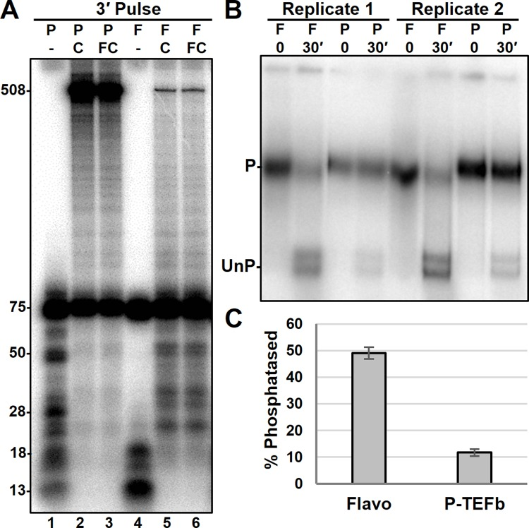 Influence of P-TEFb on the phosphatase assay. A , RNA generated during a 3-minute limiting UC pulse with or without a subsequent chase on a template with a 503 nt runoff. Excess P-TEFb (P) or flavopiridol (F) were added during PIC formation. Indicated complexes were chased (C) for 3 minutes in the absence or presence of flavopiridol (FC). B , EC-EMSA of EECs generated in the presence of flavopiridol or P-TEFb and pulsed with limiting UC for 3 minutes. Complexes were stopped with EDTA and incubated for the indicated times prior to HSW (1.6 M KCL) and LSW (60 mM KCl). C , quantification of phosphatase activity in B . Total amount of counts within the unphosphorylated band (UnP) was divided be total counts within the lane to determine percent phosphatased.