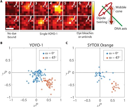 DNA intercalators tilt and twirl beyond the OST. ( A ) Polarized image pairs of a single <t>YOYO-1</t> molecule bound to DNA oriented at ω = 45° in regime 3 alternately excited with x - and y -polarized light (scale bar, 500 nm). A single molecule is detected in image pairs 2 to 5. Illustration: When a dipole twirls, its mean azimuthal orientation with respect to the DNA axis changes. Thus, the dipole is only efficiently excited when it rotates through the axis of the excitation polarization. Hence, toggling between x / y -polarized excitation strongly biases the emission polarization, as seen in, e.g., polarized image pairs 3 and 4. ( B and C ) Polarization scatterplots of single YOYO-1 (B) and SYTOX Orange (C) dyes bound to DNA oriented at ω = 0° and ω = 45° in regime 3.