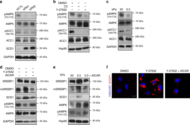 AMPK suppresses SREBP1 activation downstream of mechanical inputs. a Western blot analysis of MCF-10A cells 48 h after transfection with either control (siCTL) or RhoA targeting siRNA (siR#1 and siR#2). GAPDH was used as loading control. b Western blot analysis of MCF-10A cells treated with either DMSO, C3 or Y-27632, for 24 h. Hsp90 was used as loading control. c Western blot analysis MCF-10A cells cultured on either stiff (50 kPa elastic modulus) or soft (0.5 kPa elastic modulus) fibronectin-coated hydrogel matrix for 24 h. GAPDH was used as loading control. d Western blot analysis of MCF-10A cells treated with either DMSO, Y-27632 or AICAR, for 24 h. GAPDH was used as loading control. e Western blot analysis of MCF-10A cells cultured on either stiff (50 kPa elastic modulus) or soft (0.5 kPa elastic modulus) fibronectin-coated hydrogel matrix, or soft (0.5 kPa elastic modulus) fibronectin-coated hydrogel matrix with AICAR treatment, for 24 h. Hsp90 was used as loading control. f BODIPY 493/503 staining of lipid droplets (in red) in Mahlavu cells treated with Y-27632 or Y-27632 and AICAR, for 24 h. Nuclei were stained with HOECHST (in blue). Scale bar, 15 μm. For western blots, mSREBP indicates mature protein. Blots and images are representative of n = 3 biological replicates