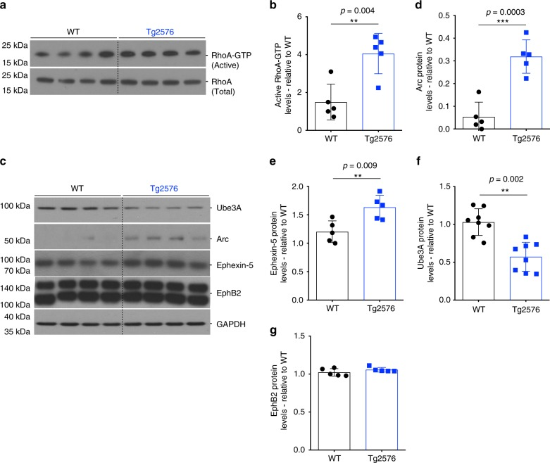 Ube3A is decreased in Tg2576 mice hippocampus. a – c Representative western blot showing levels of total and active RhoA ( c ), and levels of Ube3A, Arc, Ephexin-5, and EphB2 in wild-type (WT) and Tg2576 mice. b – g Quantification of western blot data showing elevated levels of active RhoA ( b ), Arc ( d ), Ephexin-5 ( e ), and EphB2 ( g ) in Tg2576 relative to WT mice. f Quantification of western blot data showing decreased levels of Ube3A in Tg2576 relative to WT mice. Protein quantifications were normalized to glyceraldehyde 3-phosphate dehydrogenase (GAPDH) as housekeeping gene. Data presented as mean ± s.d. of N = 5 WT and N = 5 Tg2576 mice. Note that statistical analyses were performed using unpaired Student's t -test for all experiments
