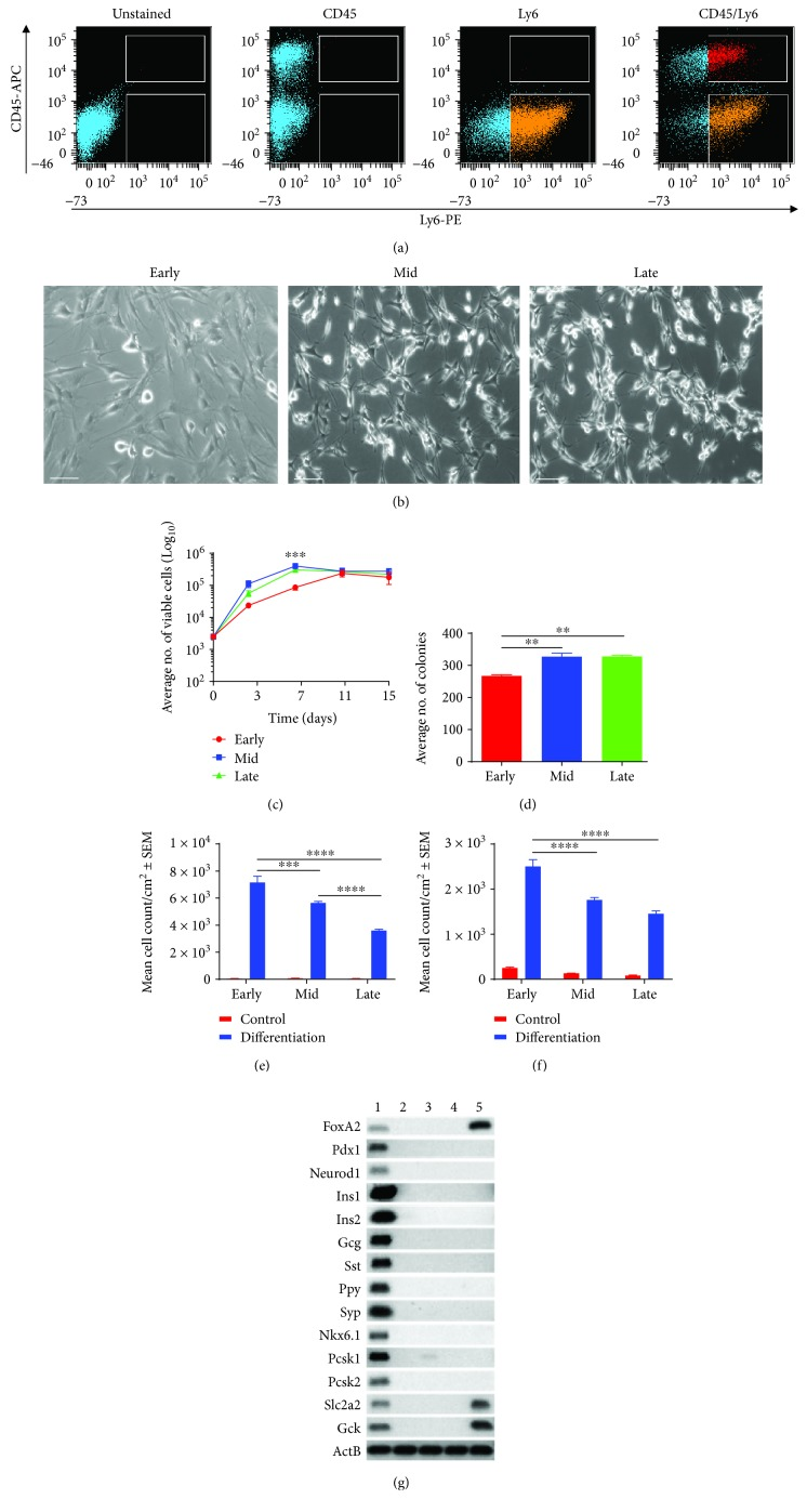 In vitro characteristics of NOD-derived MSCs with cell culture expansion. (a) FACS analysis and enrichment of NOD-derived MSCs. Following culture for two passages, NOD bone marrow stromal cells were stained with nil antibody (unstained), CD45 mAb conjugated to fluorochrome APC (CD45-APC), Ly6 MAb conjugated to fluorochrome PE (Ly6-PE), and both mAbs (CD45-APC/Ly6-PE). Fluorescence dot plots of CD45-APC ( y -axis) and Ly6-PE ( x -axis) were used to identify the MSC (CD45 − /Ly6 + ; orange) and double-positive (CD45 + /Ly6 + ; red) cell subpopulations ready for cell sorting using the BD FACSAria™ II instrument. Representative of three individual FACS experiments. (b) Plastic adherence, fibroblast-like morphology, and self-renewal without differentiation into other cell types. MSCs maintained fibroblast-like morphology as assessed using light microscopy (Leica DM microscope; 10x magnification; scale bar = 100 μ M). (c) Improved cell proliferation with culture expansion. Data are presented as mean viable cells ± SDs ( n = 3). A two-way ANOVA with Tukey's posttests was performed, ∗ p